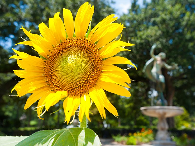 A blooming sunflower in Audubon Park.