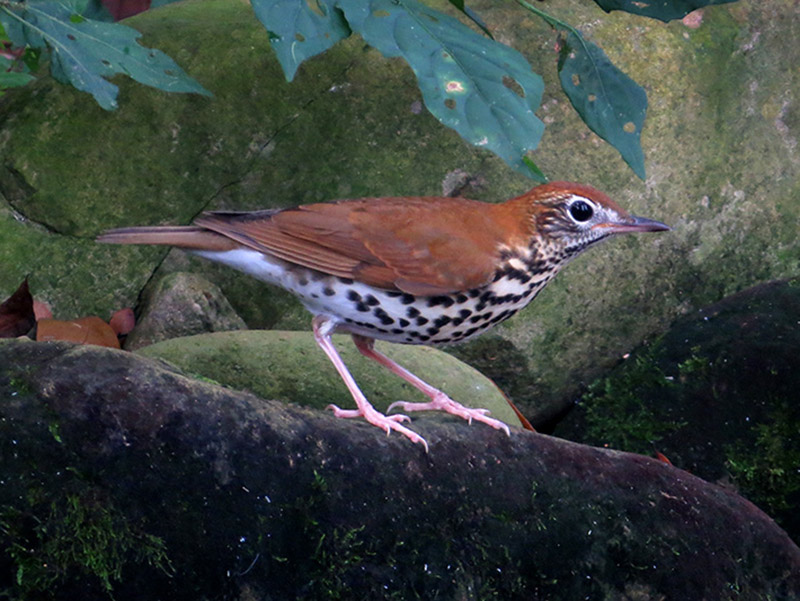 The decline of the wood thrush is the subject of a study by population ecologist Caz Taylor.