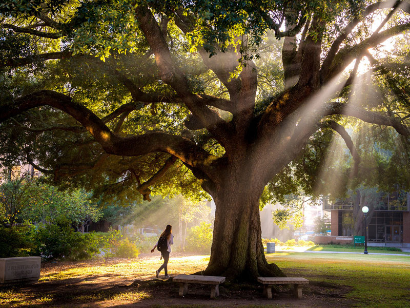 Light streams through the branches of a large live oak on campus