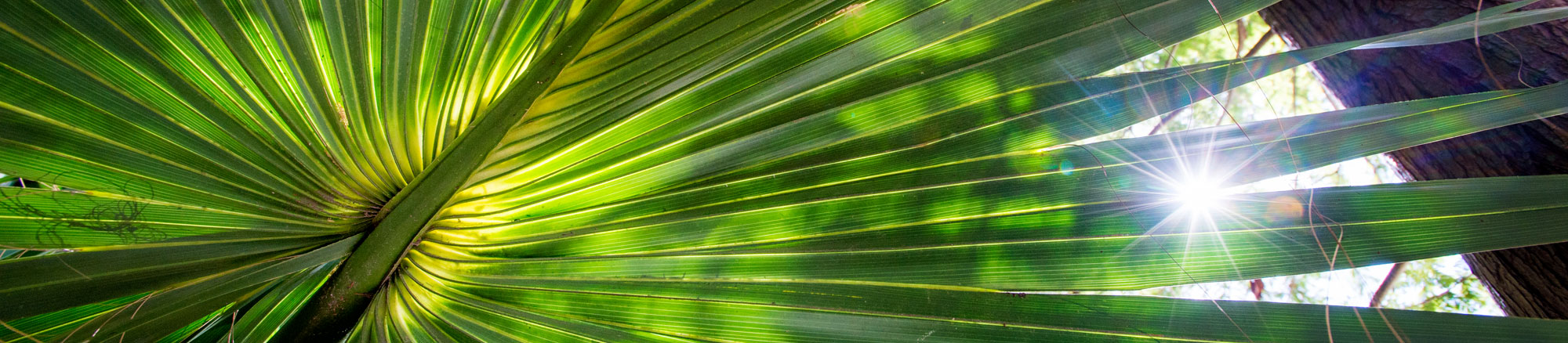 Sunlight streaming the leaves of a fanned out palm leaf